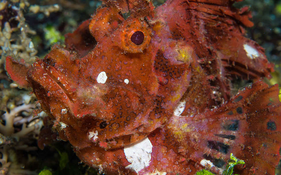Franzen Drachenkopf (Rhinopias) – Seraya Secrets, Bali, Indonesien