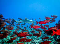 Hai-Tauchen Französisch Polynesien – Fakarava