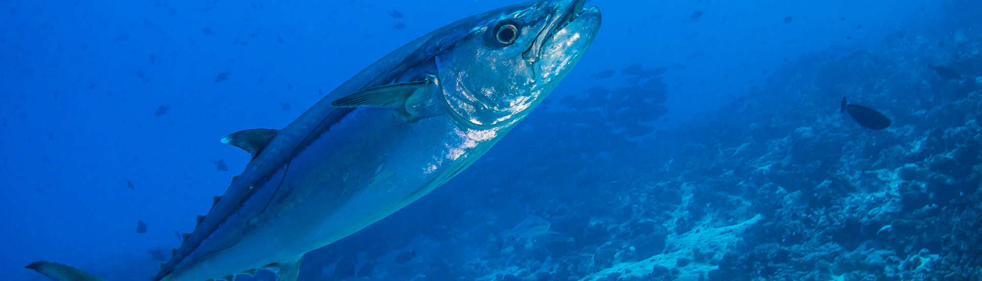 Tauchgang mit Tunfisch Begegnungen – Kauehi, Französisch Polynesien