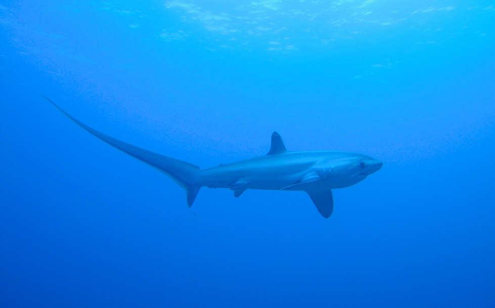 Tauchen mit Fuchshaien auf den Philippinen