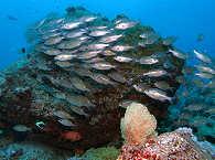 Fischschwarm Nord – Mauritius