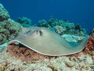 Federschwanz-Stechrochen im Riff vor Selayar, Sulawesi