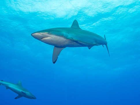 Französisch Polynesien – Tauchen mit Seidenhaien