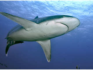 Grauer Hai – Yap
