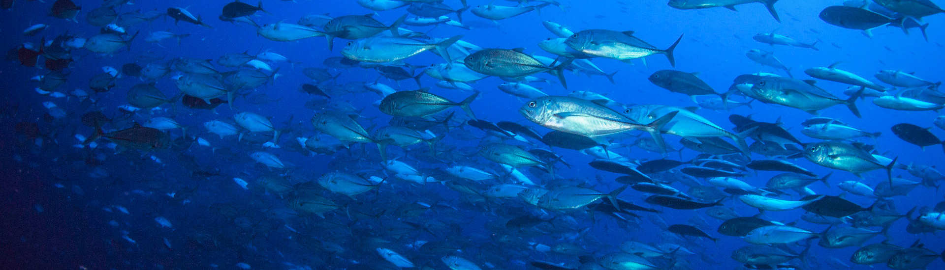 Stachelmakrelen beim Tauchen vor Tifure, Halmahera, Nord Molukken