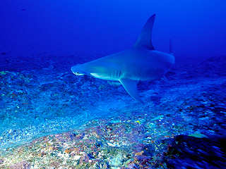 Hammerhaie am Tiputa Pass – Rangiroa, Polynesien