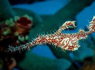 Harlekin Ghost Pipefish – Selayar Island, Indonesien