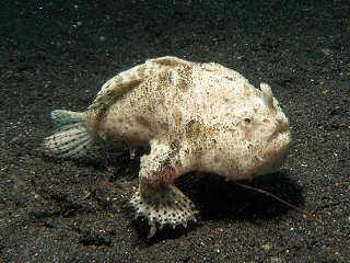 Froggy – Lembeh Strait