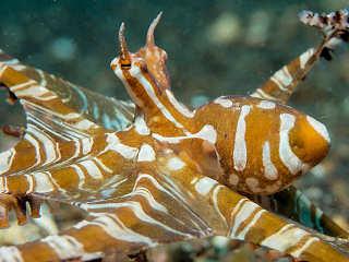 Tauchen in Sulawesi – Mimik Oktopus