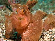 Rhinopias – Lembeh Strait, Sulawesi