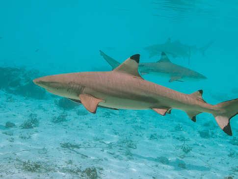 Hai-Tauchen Malediven