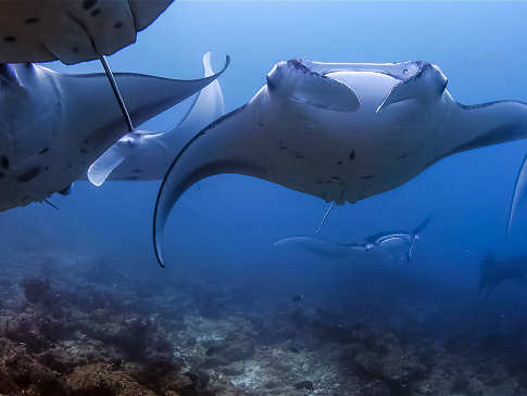 Tauchen mit Mantas – Tauchsafaris Malediven