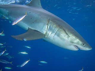 Wunder der Evolution – Tauchen mit Weißen Haien