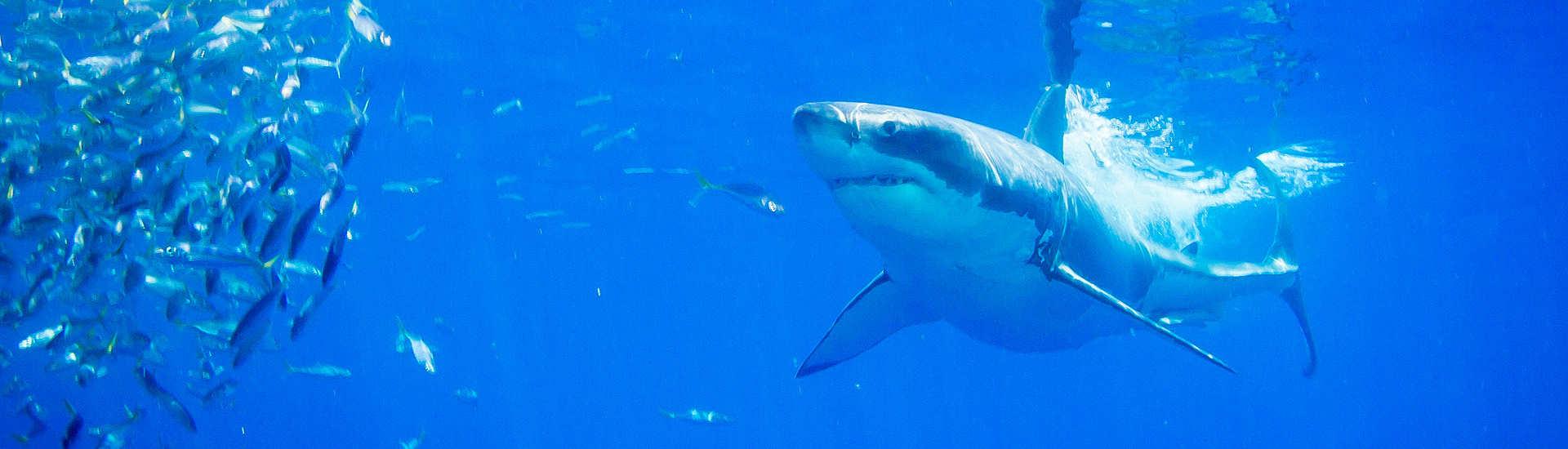 Weißer Hai vor Guadalupe