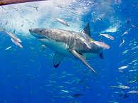 Tauchen mit Weißen Haien
