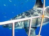 Tauchen mit Haien – Tauchreisen Guadalupe