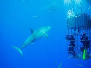 Hai-Tauchen Mexiko – Tauchsafari Guadalupe