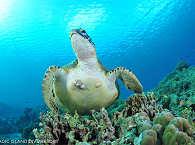Beim Tauchen vor Moalboal überall anzutreffen: Schildkröten