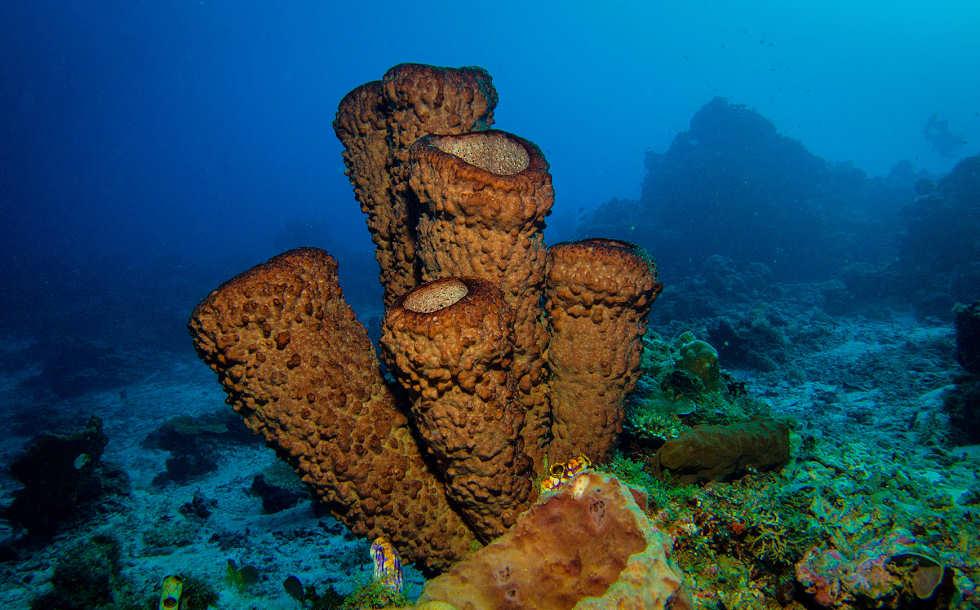 Große Schwämme – Tauchen in Molukken