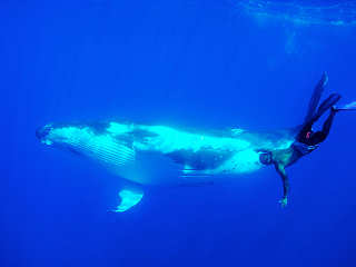 Schnorcheln mit Buckelwalen vor Moorea – Französisch Polynesien