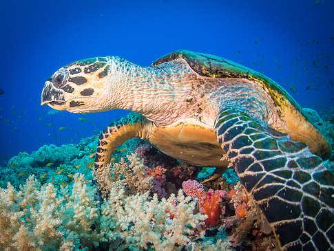 Tauchen mit Schildkröten im Schutzgebiet von Apo Island