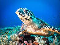 Tauchen mit Schildkröten vor Negros – Philippinen