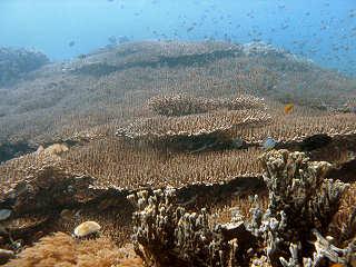 Korallen vor Negros