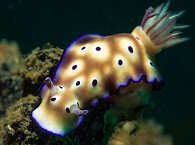Hypselodoris Tryoni – Lembeh Strait, Nord Sulawesi