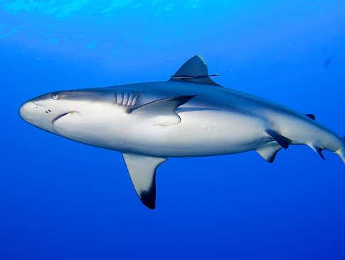 Grauer Riffhai – Blue Corner Palau