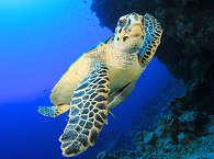 Schildkröte – Palau