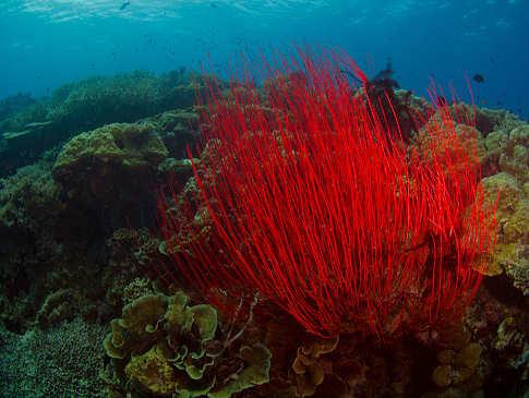 Peitschenkoralle in der Kimbe Bay – Papua Neuguinea