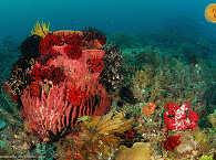 Korallen – Raja Ampat