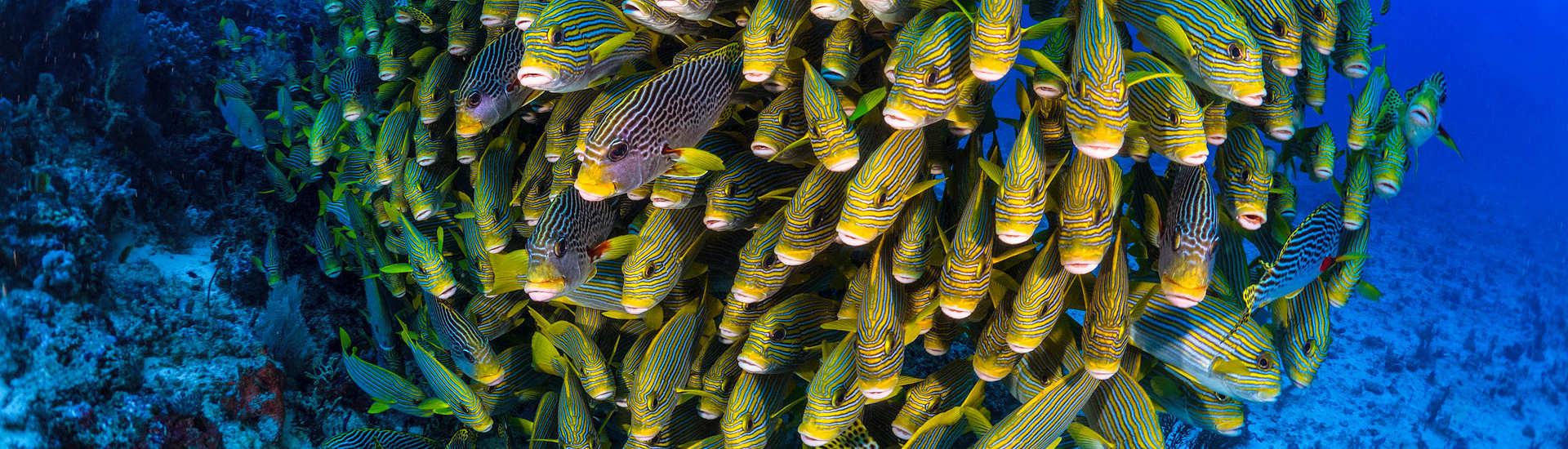 Tauchgang mit Süsslippen Schwarm in Raja Ampat – Dampier Strait, Indonesien