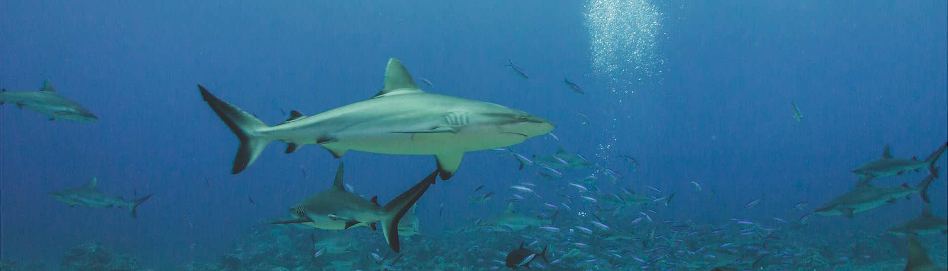 Tauchen mit Haien in Rangiroa