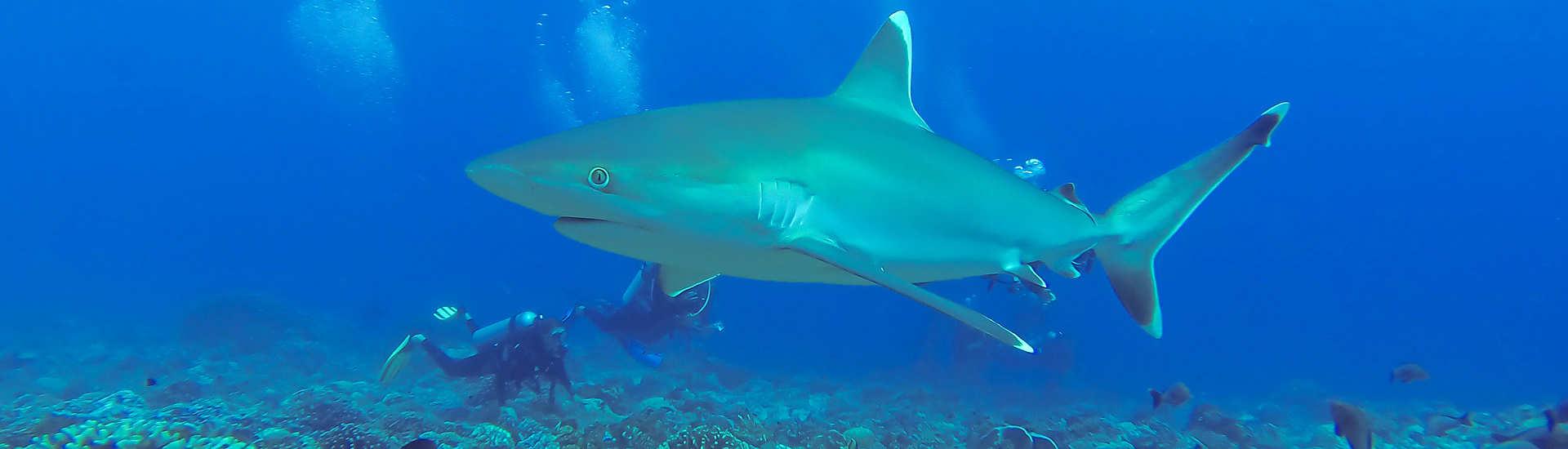 Silberspitzenhaie vor Rangiroa, Franz. Polynesien