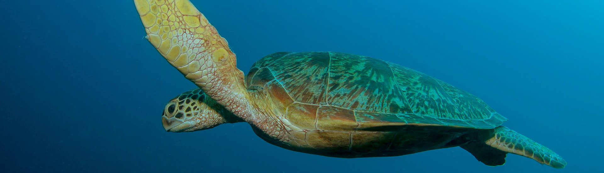 Tauchen mit Schildkröten im Komodo Nationalpark – Flores, Indonesien