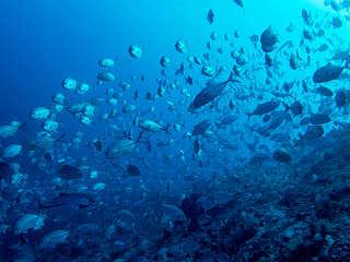 Stachelmakrelen am Riff in Selayar – Sulawesi