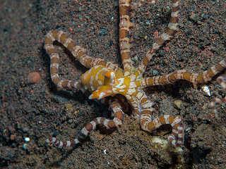 Wunderpus Krake vor Balis Nord-Ostküste – Indonesien
