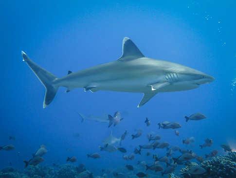 Silver Tip Shark – Rangiroa, Franz. Polynesien