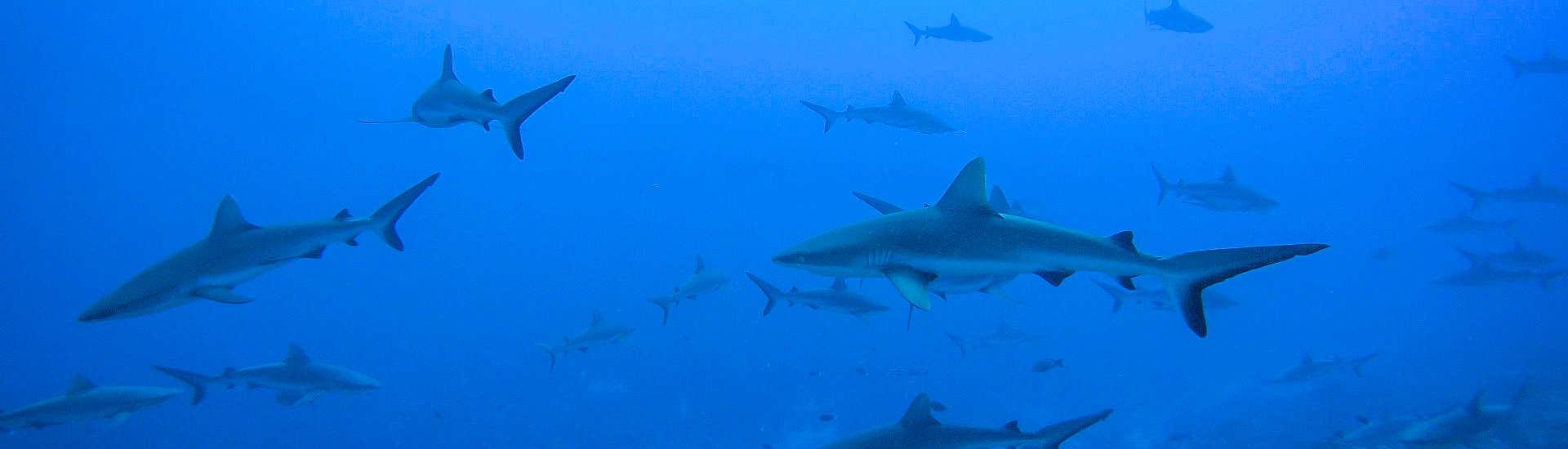 Wall of Sharks an Fakaravas Südpass Tumakohua