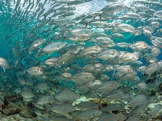 Stachelmakrelen im Hausriff vom Selayar Dive Resort, Indonesien