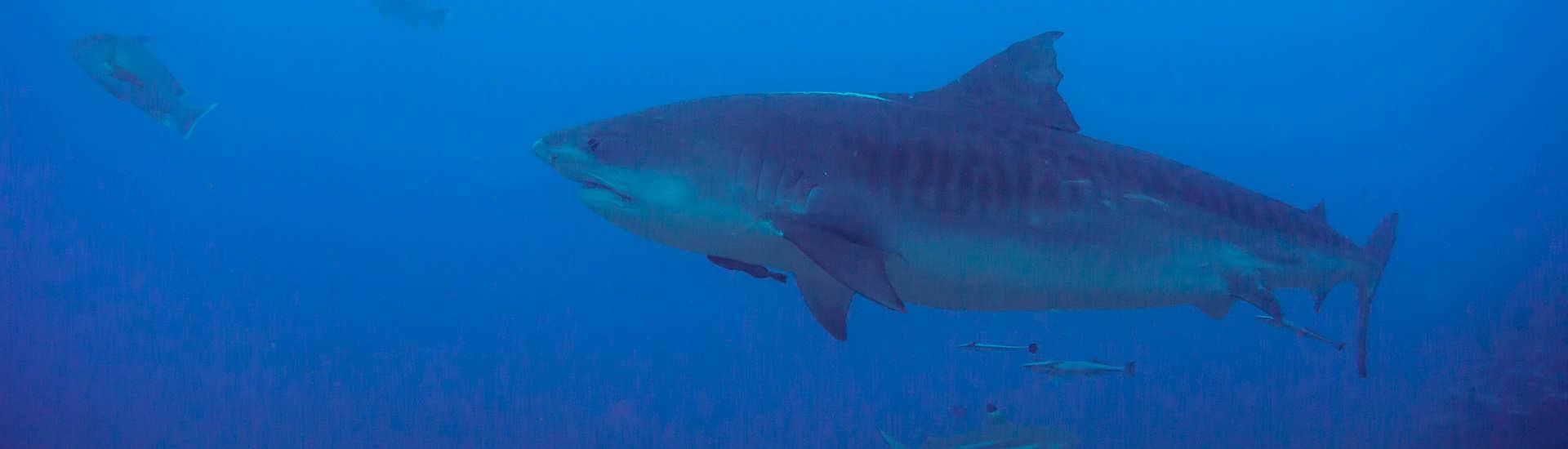 Tauchen mit Tigerhaien vor Tahiti / Französisch-Polynesien