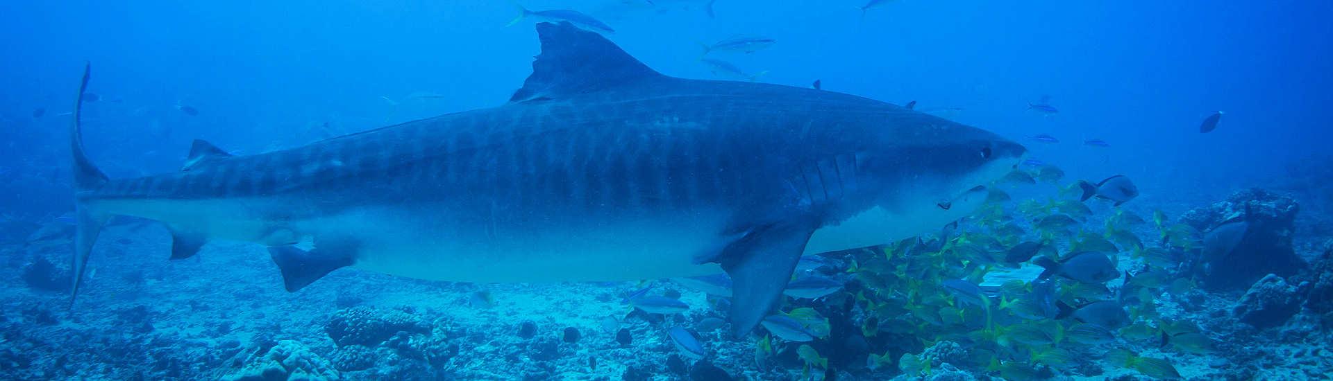 Tauchen mit Tigerhaien vor Tahiti – Französisch Polynesien