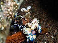 "Harlekingarnele (Harlequin Shrimp) im Hausriff ""Seraya Secrets"" der Villa Markisa – Bali"