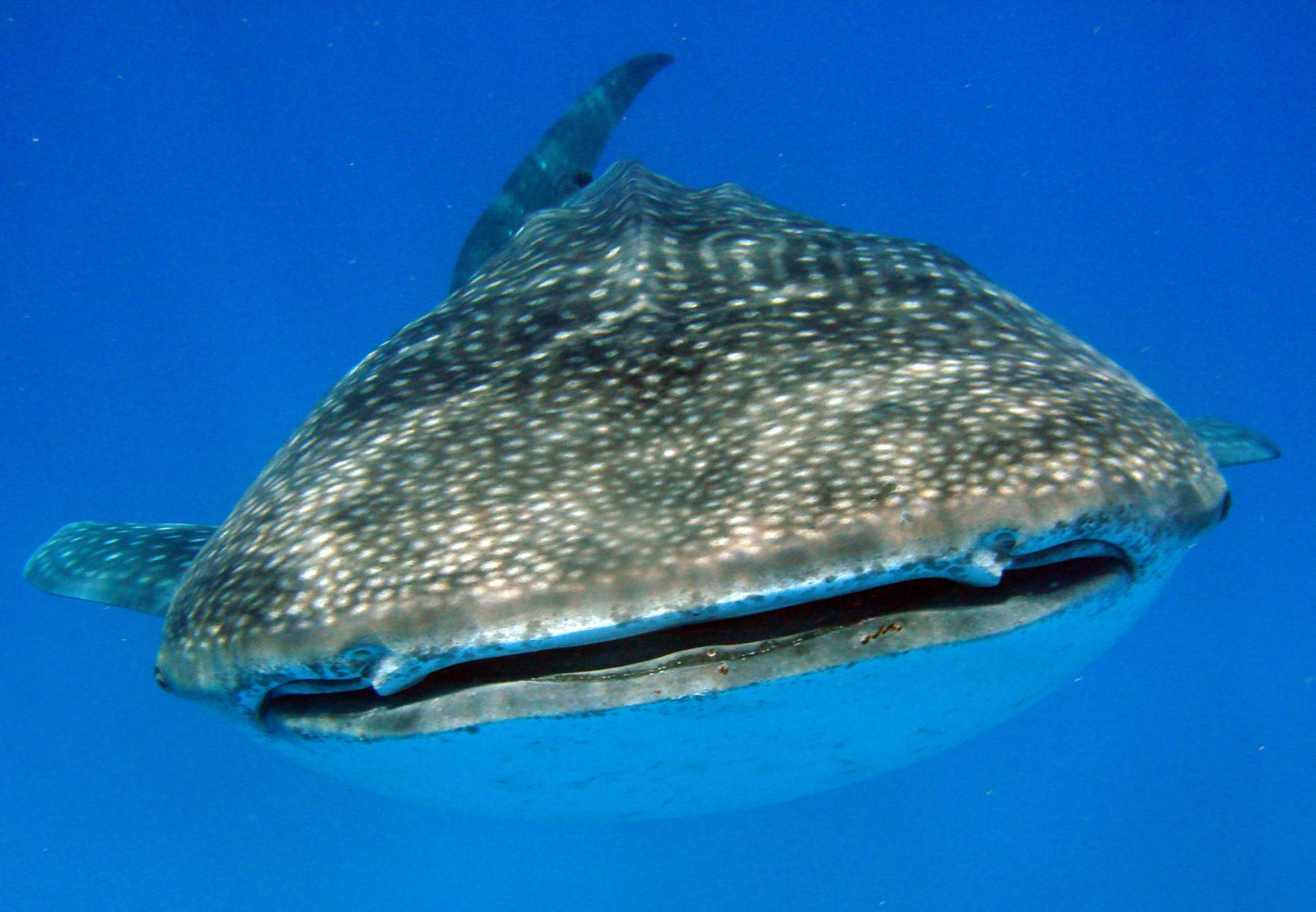 Tauchen & Schnorcheln mit Walhaien vor Tofo