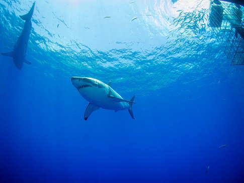 Tauchen mit Weißen Haien – Carcharodon Carcharias