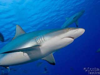 Tauchen mit Haien – Yap