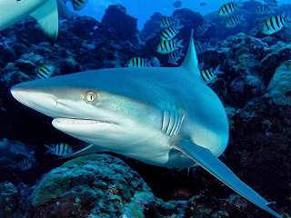 Yap – Tauchen mit Haien