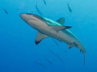 Haitauchen – Tauchgebiete Polynesien