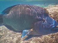 Tauchen in Polynesien – bunte Riffe und Großfisch
